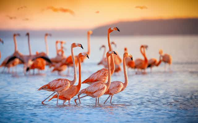 A flock of pink flamingos huddle on a lake at sunset.