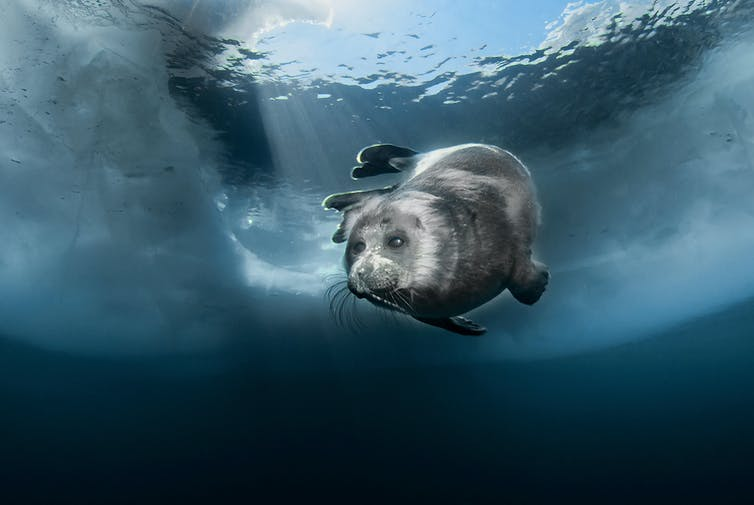 A glossy, grey-coloured seal swimming under ice.