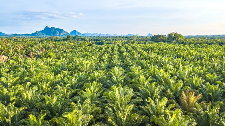 A oil palm plantation showing endless identical rows of palms.
