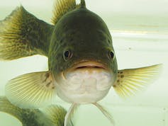 Mary River cod