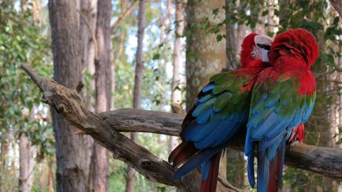 A pair of brightly coloured parrots in the Brazilian rainforest.