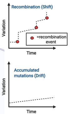 A graph depicting recombination versus accumulated mutations.