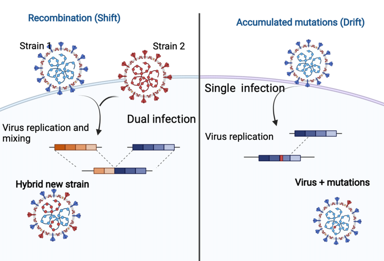 An infographic depicting recombination versus accumulated mutations.