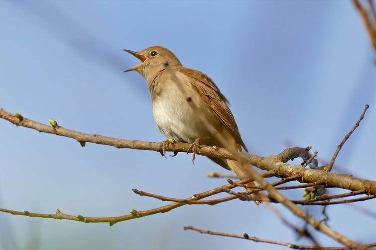 A brown bird sings on a bare tree branch