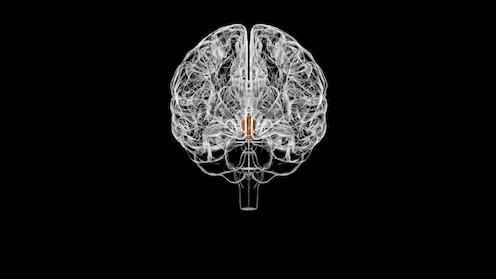 Ilustración del hipotálamo en el cerebro