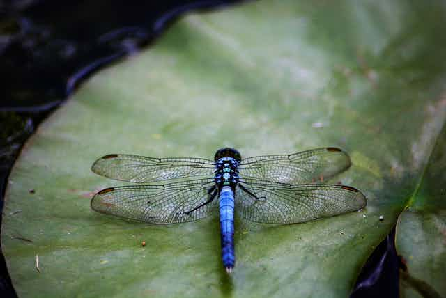 An electric blue dragonfly sits on a lilypad
