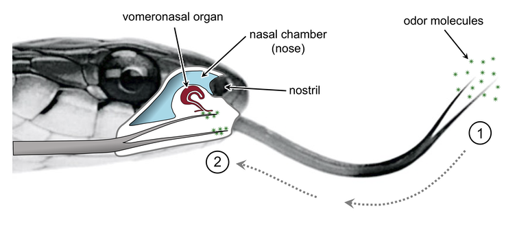 A diagram showing the location of the vomeronasal organ on a snake.