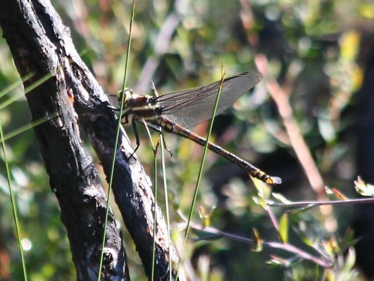 Giant dragonfly on a branch
