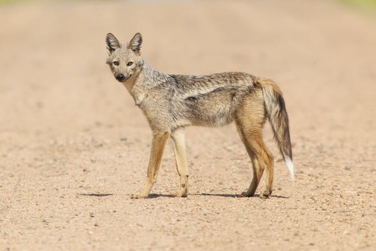 A dog-like animal with pointed ears, a fluffy tail with a white tip and a light stripe along its side.