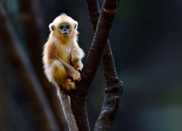 A Golden Snub-nosed Monkey sitting in a tree