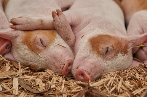 Two pigs lie close together with their eyes closed