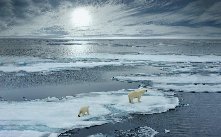 Polar bears on melting ice