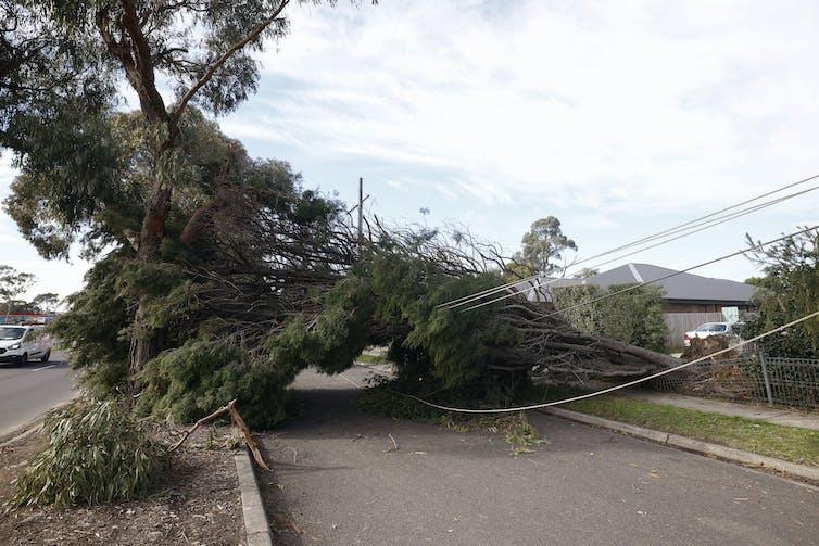 fallen tree on powerlines