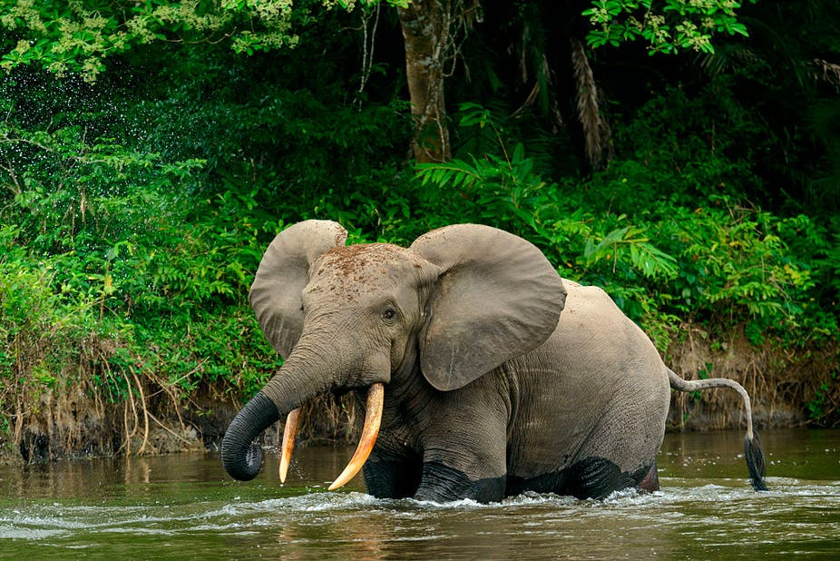 African forest elephant in a river.