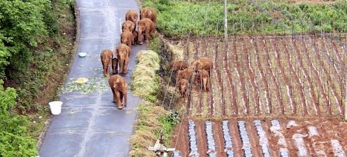 Elephants beside crops