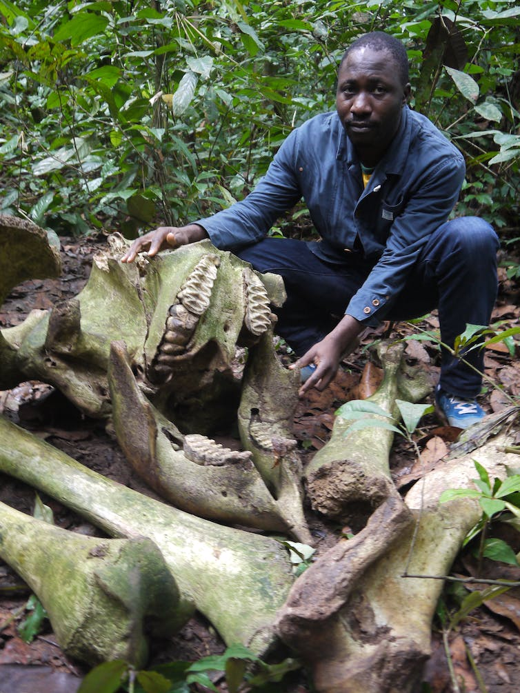 Forest elephant killed by poachers in the Congo Basin.