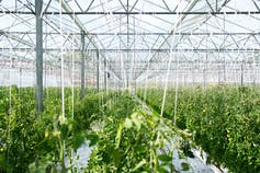 A giant greenhouse with a sea of green plants.