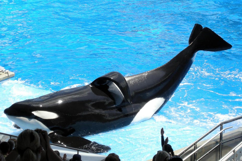 A killer whale called Tilikum performing at SeaWorld Florida.