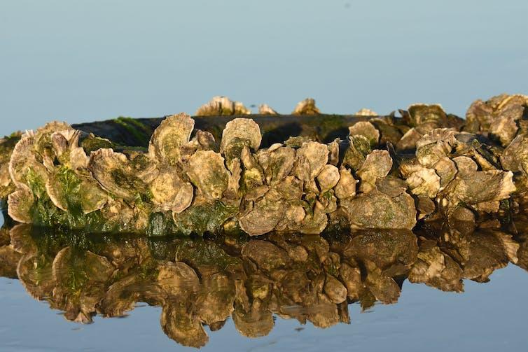un banc d'huitres Crassostrea virginica