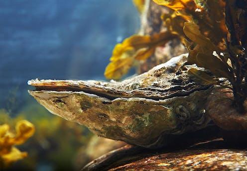 Une huître fermée sur une roche, dans l'océan