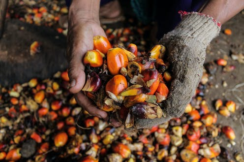 hands holding harvested palm  fruits