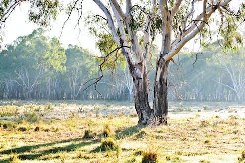 A eucalyptus tree in a field