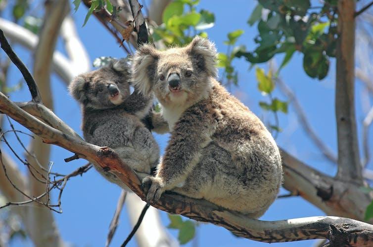 Two koalas sitting on a branch
