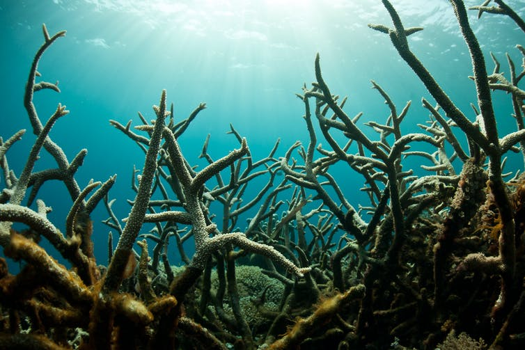 A field of staghorn corals
