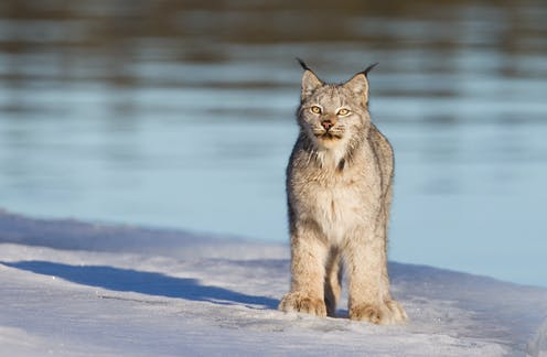 A lynx stands in front of a lake