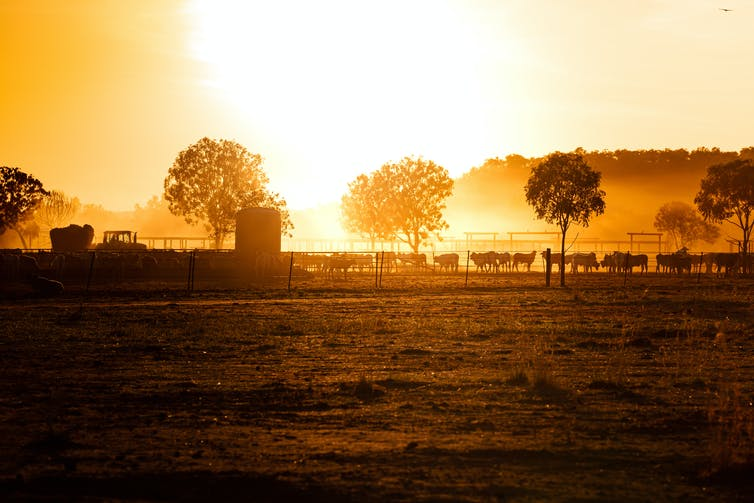 sunset on farm with cattle and trees