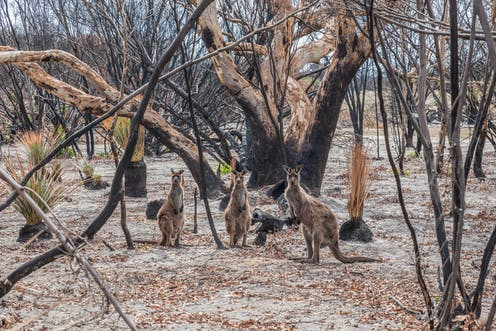 Three kangaroos in burnt bushland
