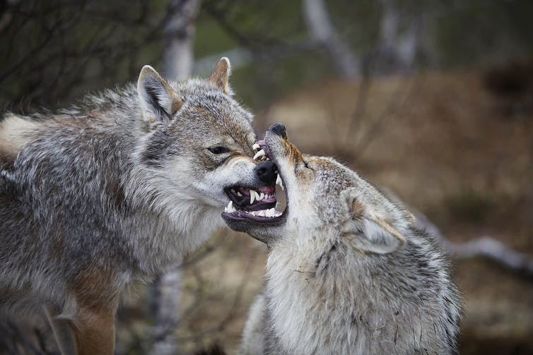 Two grey wolves are snarling; one has the other's muzzle in its jaws. The action appears playful rather than vicious.
