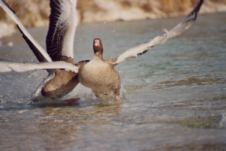 Two geese fighting on water