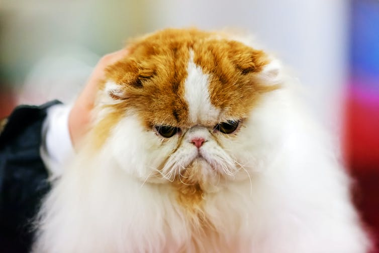 A grumpy cat being stroked