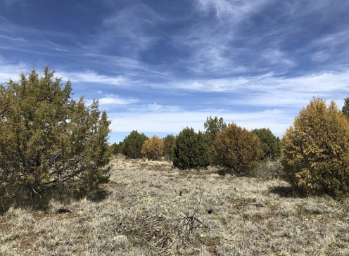 Juniper trees in different stages of drying and dying on a dry hillside