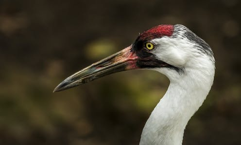 The head of a whooping crane