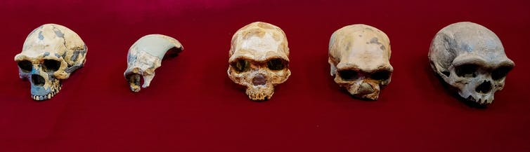 Images of homo erectus and homo longi skulls.