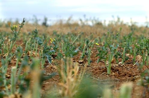 Canola in field