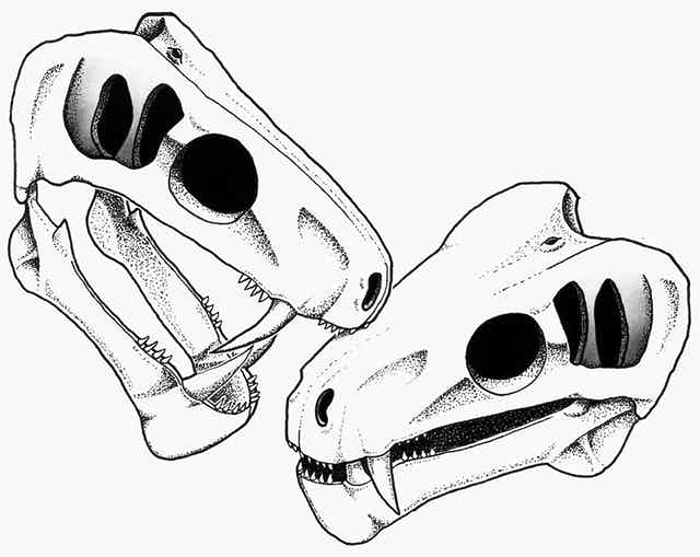 Two illustrated skulls, both with sharp sabre teeth, appear to be clashing, with one biting the other.