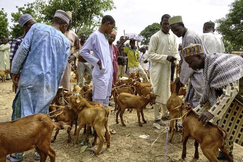 Men looking at tethered goats