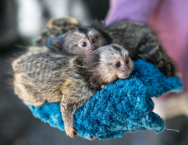 several marmosets lying together