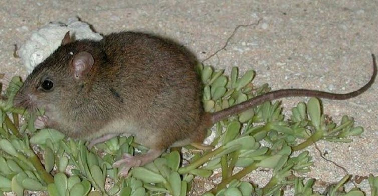 Brown rodent