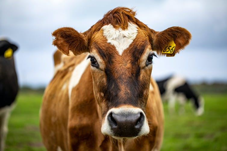 Cow looks at camera