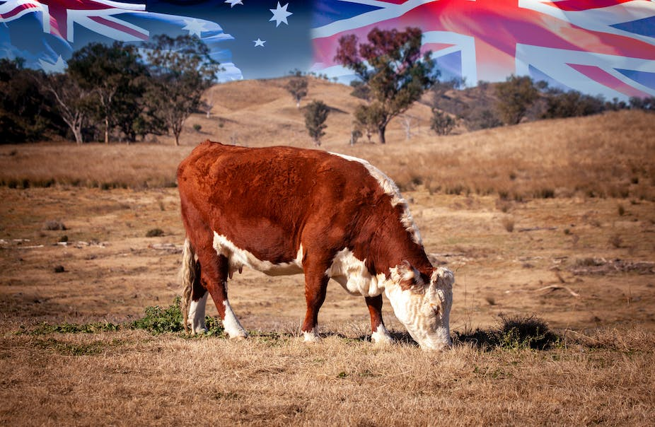 Cow in field with Australia, UK and NZ flags in background