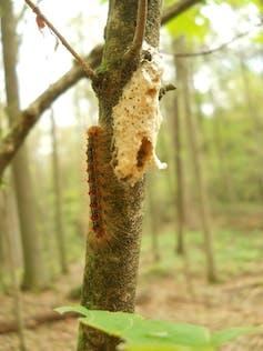 Une boulette spongieuse de couleur beige attachée à l'écorce des arbres