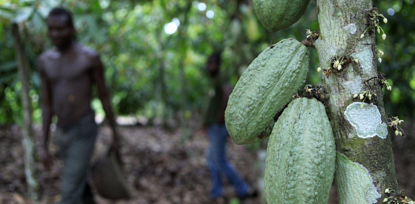 How the cocoa industry could end deforestation in West Africa