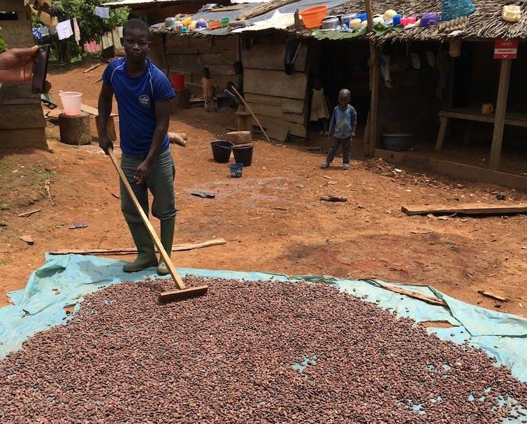 Un homme déplace des fèves de cacao sur une bâche avec un râteau