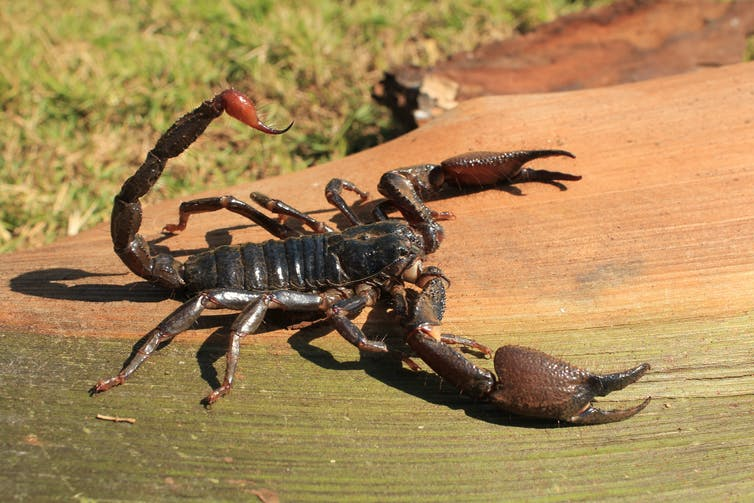 Enormous scorpion