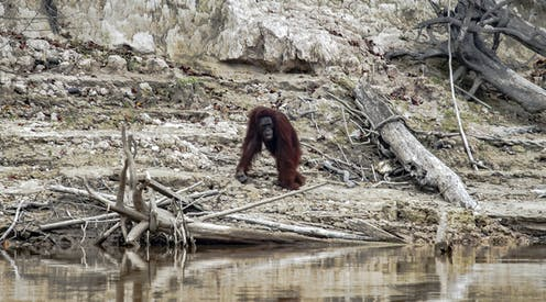 Orangutan after forest fire