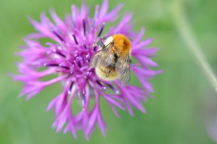 A bee sits on a purple flower